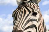 t-zebra_close-sxchu_com-879534_19206261-c_nicolas_raymond.jpg