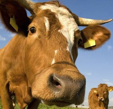 aug_2008_blog_pictures-cow.jpg